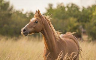 Lijnzaad paarden